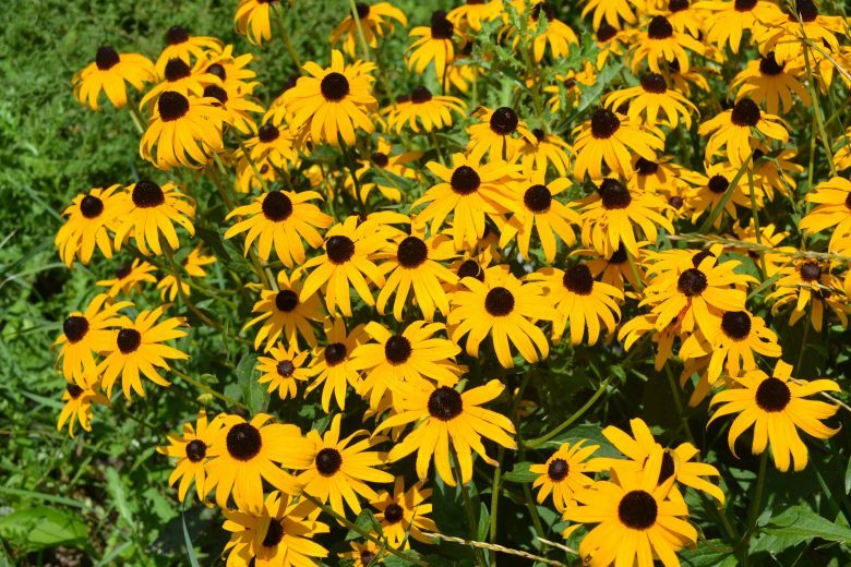 are you a black eyed susan simple success plans